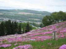 芝桜のお花見