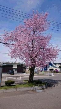 シンボルツリー開花しました